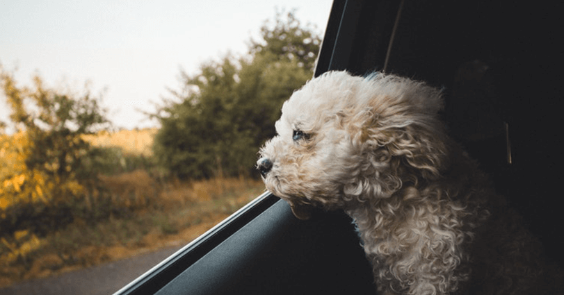 How many people drive with their dogs in the car? Birchall Blackburn Law answers