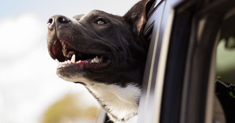 Can my dog have his head out of the window? Birchall Blackburn Law answers