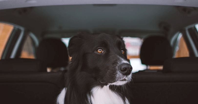Birchall Blackburn Law explains what the law is on driving with dogs in the car