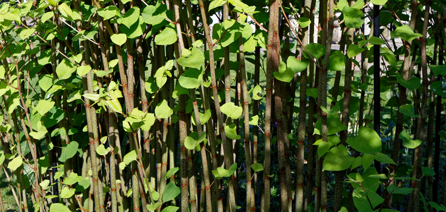 Japanese knotweed affects mortgage applications